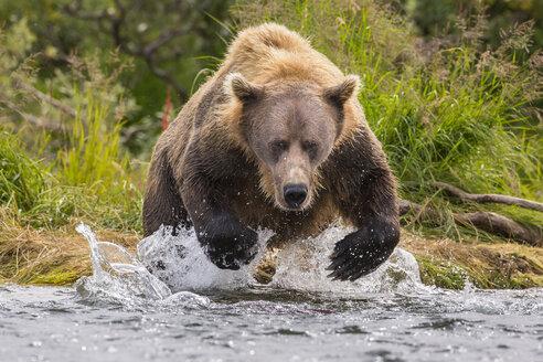 Alaska Peninsula brown bear (Ursus arctos horribilis) hunting for salmon, Katmai National Park, Alaska, USA - AURF06526