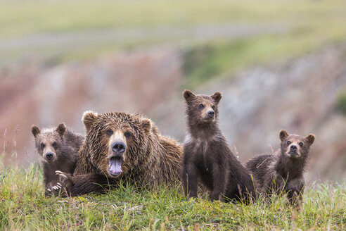 Family of Alaska Peninsula brown bears (Ursus arctos horribilis) in Katmai National Park and Preserve, Alaska, USA - AURF06849
