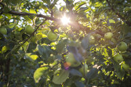 Green apples on branch, Parkdale, Oregon, USA - AURF07002