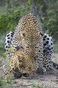 Pair of leopards (Panthera pardus) mating, Sabi Sands Game Reserve, Mpumalanga, South Africa - AURF07272