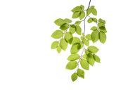 Branch of beech tree, Fagus sylvatica, white background - RUEF01961