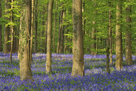 belgium, Flemish Brabant, Halle, Hallerbos, Bluebell flowers, Hyacinthoides non-scripta, beech forest in early spring - RUEF01991