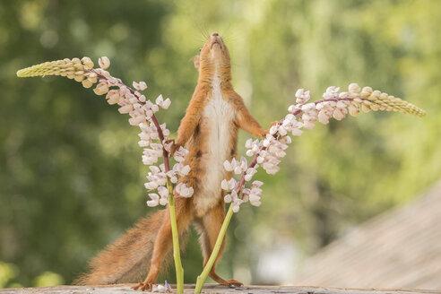 Squirrel standing between two lupins looking up, Bispgarden, Jamtland, Sweden - AURF07502