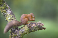Eating Eurasian red squirrel on tree trunk - MJOF01568