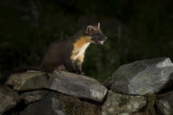 Portrait of pine marten sitting on stones at night - MJOF01571