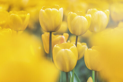 USA, Washington State, Skagit Valley, tulip field, yellow tulips, close-up - MMAF00580