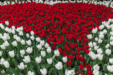 USA, Washington State, Skagit Valley, tulip field, white and red tulips - MMAF00592