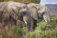 South Africa, Aquila Private Game Reserve, Elephants, Loxodonta Africana - ZEF15977