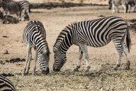 South Africa, Aquila Private Game Reserve, Zebras eating, Equus quagga - ZEF15983