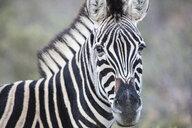 South Africa, Aquila Private Game Reserve, Zebra, Equus quagga - ZEF15995
