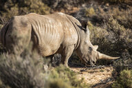 South Africa, Aquila Private Game Reserve, Rhino, Rhinoceros - ZEF16001