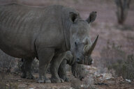 South Africa, Aquila Private Game Reserve, Rhino and baby rhino, Rhinoceros - ZEF16004