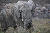 South Africa, Aquila Private Game Reserve, Elephant, Loxodonta Africana - ZEF16007