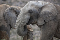South Africa, Aquila Private Game Reserve, Elephant, Loxodonta Africana - ZEF16013