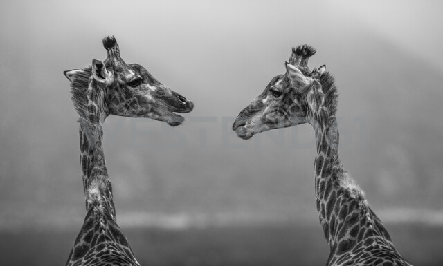 South Africa, Aquila Private Game Reserve, Giraffes, Giraffa camelopardalis, face to face, Black and white - ZEF16019 - zerocreatives/Westend61