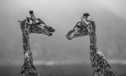 South Africa, Aquila Private Game Reserve, Giraffes, Giraffa camelopardalis, face to face, Black and white - ZEF16019