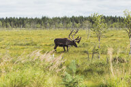 Finland, Lapland, elk walking in rural landscape - KKAF02100