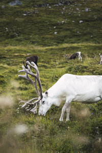 Norway, Lapland, Male reindeer grazing - KKAF02296