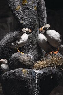 Norway, Lapland, Atlantic puffiins perching on rocks - KKAF02302