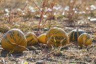 Pumpkins on a field at harvesttime - ASCF00885