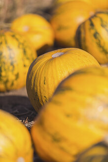 Yellow pumpkins on a field - ASCF00888
