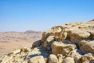 Nubian ibex (Capra nubiana) in Negev Desert, Mitzpe Ramon, Southern District, Israel - AURF07689