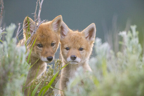 Portrait of two coyote pups hiding in grass looking at camera, Jackson Hole, Wyoming, USA - AURF07695