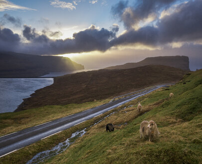 Sheep and road on seashore at sunset, Eidi, Faroe Islands - AURF07707