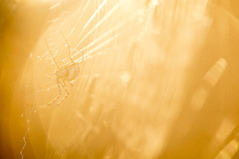 South Africa, spider on web, sun light - ZEF16026