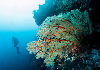 Diver exploring the Tubbataha Reefs Natural Park, underwater view, Cagayancillo, Palawan, Philippines - CUF44199