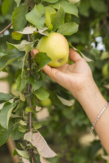 Hand picking apple from tree - JUNF01450