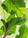 Still life of beetroot leaves, overhead view - CUF44603