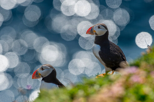 Two puffins (Fratercula arctica), Skellig Islands, Portmagee, Kerry, Ireland - CUF44822