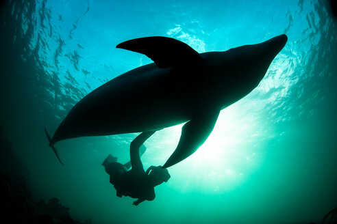 Woman free-diving with Bottlenose dolphin (Tursiops truncates), underwater view, Doolin, Clare, Ireland - CUF44840