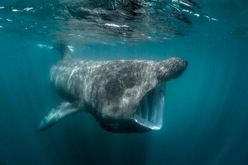 Basking shark (Cetorhinus maximus), underwater view, Baltimore, Cork, Ireland - CUF44846