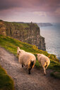 Sheep on rural pathway, Cliffs of Moher, Doolin, Clare, Ireland - CUF44870