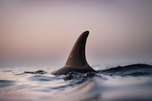 Fin of wild solitary Bottlenose Dolphin, Inishmore, Aran Islands, Ireland - CUF45044
