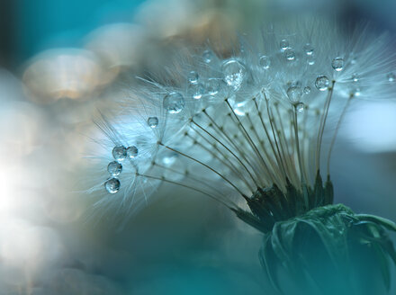 Abstract macro shot of a dandelion in selective focus - INGF00105