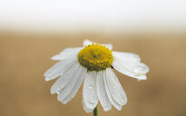 Close-up shot of a fresh daisy with dew drops - INGF00132