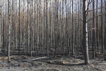 Germany, Brandenburg, Treuenbrietzen, Forest after forest fire - ASCF00894