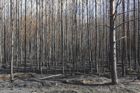 Germany, Brandenburg, Treuenbrietzen, Forest after forest fire - ASCF00894