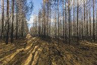 Germany, Brandenburg, Treuenbrietzen, Forest after forest fire - ASCF00897
