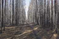 Germany, Brandenburg, Treuenbrietzen, Forest after forest fire - ASCF00900