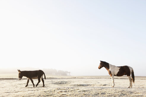 Horse and donkey in sunny winter field - FSIF03273