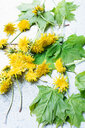 Cut yellow dandelions and leaves - CUF45341