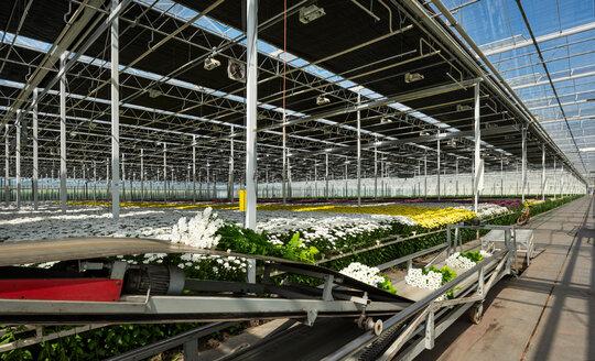 Conveyor belt for fresh cut chrysanthemums in modern Dutch greenhouse, Maasdijk, Zuid-Holland, Netherlands - CUF45362