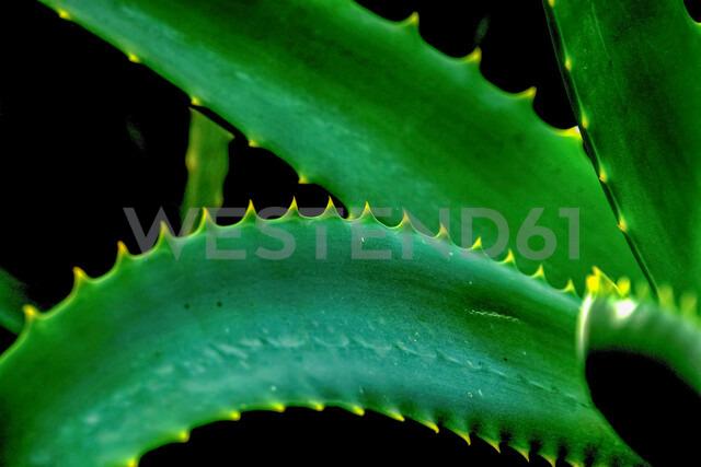 Aloe vera plant - ISF19932