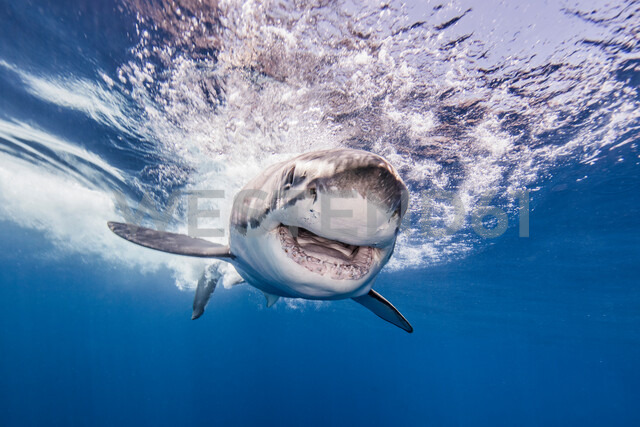Great white shark, Guadalupe, Mexico - ISF20007