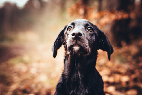 Dog in autumn forest - INGF01044