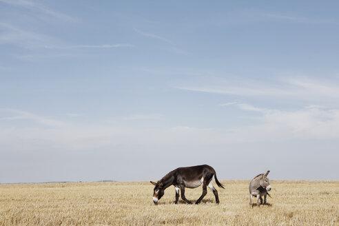 Donkeys in sunny rural field - FSIF03309